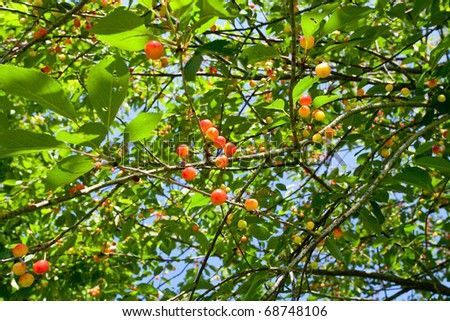 sweet red and yellow cherry on tree