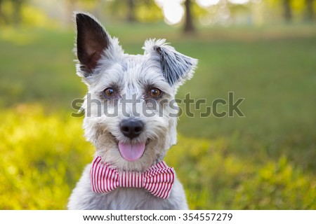 Sweet Schnauzer dog with funny ears smiles and wears a bowtie