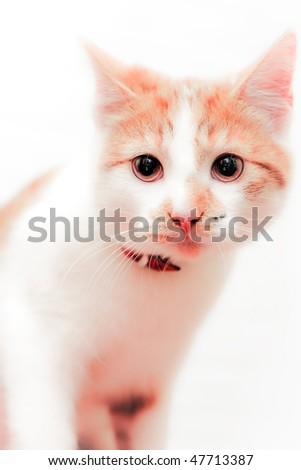 sweet shorthair red-white cat,  white background