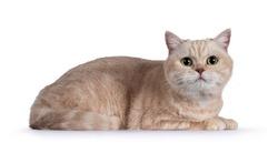 Sweet shy creme British Shorthair cat, laying side ways. Looking towards camera.  Isolated on white background.