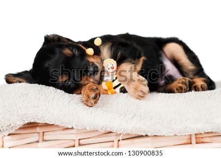sweet sleeping puppy
