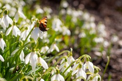 Sweet snowdrop flowers in spring with small tortoiseshell butterfly