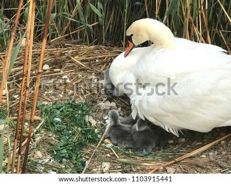Sweet swans family #1103915441
