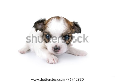 sweet three weeks old Chihuahua puppy close-up on white background