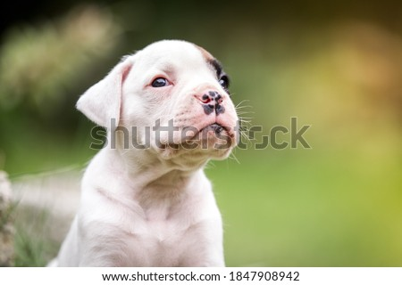 Photo of  Sweet white little puppy boxer in the garden purebred cute face