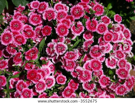 Sweet william dianthus barbatus is a flowering plant in the family