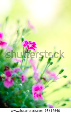 Sweet william flower or red dianthus bartatus