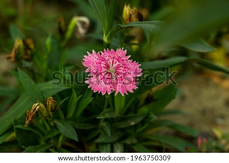 Sweet William is an irresistible, colorful, biennial flower it is growing in very hot summer areas, they will thrive with partial or light afternoon shade Stock photo ©