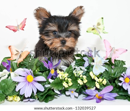 Sweet Yorkie puppy standing in the middle of flowers and butterflies, on a white background.