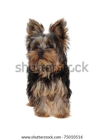 Sweet Yorkshire Terrier ( 5 m.)  in front on white background - stock photo