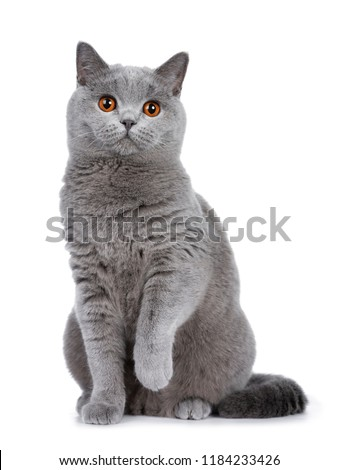 Sweet young adult solid blue British Shorthair cat kitten sitting up front view, looking at camera with orange eyes and one paw lifted, isolated on white background