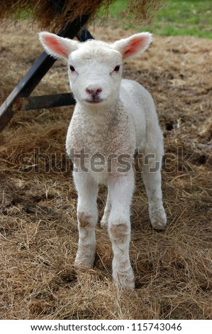 Sweet young lamb standing in hay - stock photo