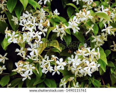 Sweetly scented white flowers of star jasmine or false jasmine climbing vine (Trachelospermum jasminoides , Confederate jasmine, Southern jasmine) Сток-фото ©