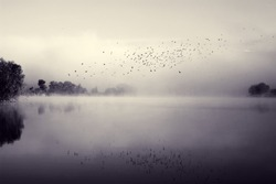 Swifts above water. Flock of birds flying over river in morning mist. Beautiful summer rural landscape. Foggy mystical weather. Toned black and white color processing. Nice soft warm light