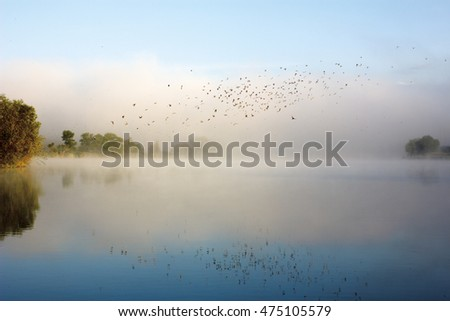 Swifts above water. Flock of birds flying over river in morning mist. Beautiful summer rural landscape. Foggy mystical weather #475105579