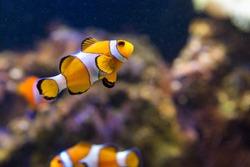 Swimming clown fish