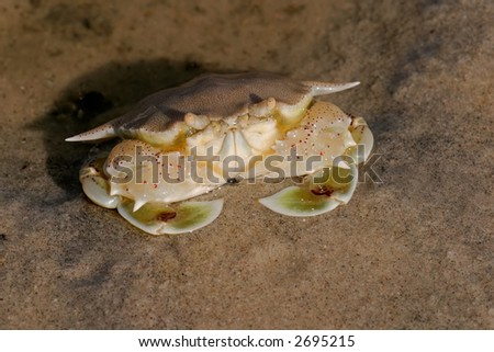 Swimming crab (Ovalipes spp.) on a sandy beach, Mozambique, southern Africa - stock photo