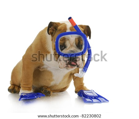 swimming dog - english bulldog wearing snorkeling mask and flippers