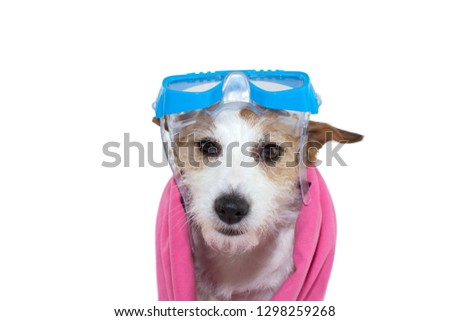 eb195a31477 SWIMMING DOG ON SUMMER. JACK RUSSELL PUPPY WITH GOGGLES AND A PINK TOWEL.  ISOLATED