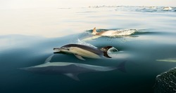 Swimming dolphins  ( common Dolphin \ Delphinus Capensis \ Delphinus delphis )in the ocean