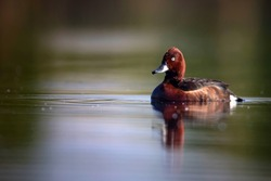 Swimming duck. Natural lake habitat background. Bird: Ferruginous Duck. Aythya nyroca.
