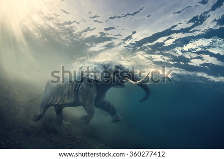 Swimming Elephant Underwater. African elephant in ocean with sunrays and ripples at water surface. #360277412