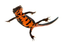 Swimming Fire bellied newt