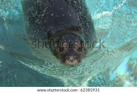 Swimming Harbour seal in front view