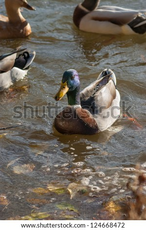 Swimming mallard duck