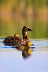 Swimming mother duck and ducklings. Colorful nature background. Duck: Common Pochard.