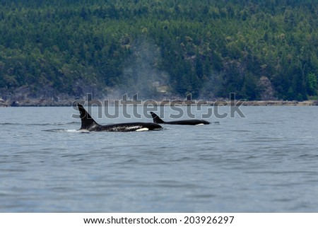 Swimming orca's near the coastline at Lund Canada.