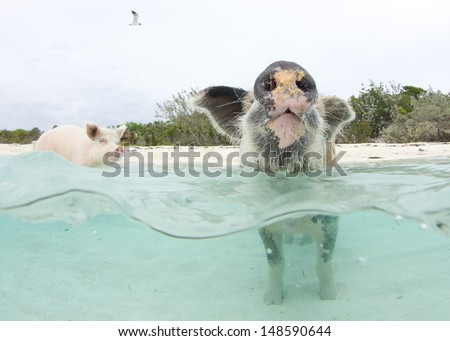 Swimming Pigs in the Bahamas at Pig Island