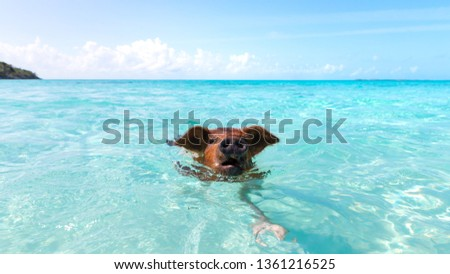 Swimming Pigs in the Water at Pic Beach, Exuma Bahamas (Black Point)