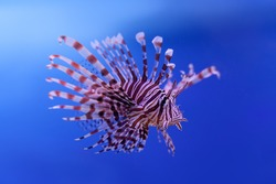 Swimming red lionfish. Pterois miles. dangerous, extraordinary, poisonous ocean fish. blue background. soft focus, copy space.