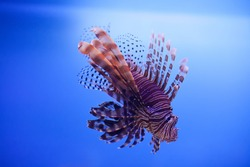 Swimming red lionfish. Pterois miles. dangerous, extraordinary, poisonous ocean fish. blue background. soft focus copy space