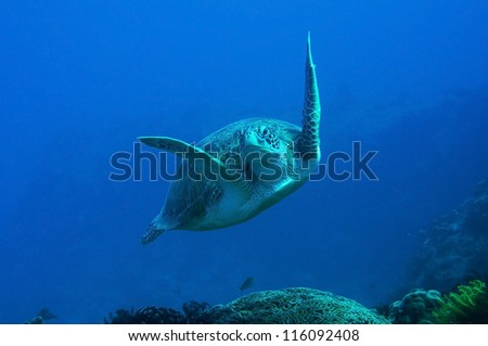Swimming Sea Turtle and coral reef