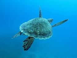 Swimming sea turtle. Blue sea with wild underwater turtle.