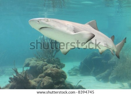 Swimming shark