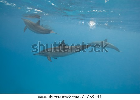 Swimming Spinner dolphins (Stenella longirostris). Sataya, Southern Red Sea, Egypt.