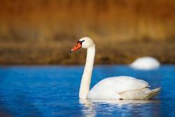 Swimming swan. Blue water and yellow grass background. Bird: Mute Swan Cygnus olor.
