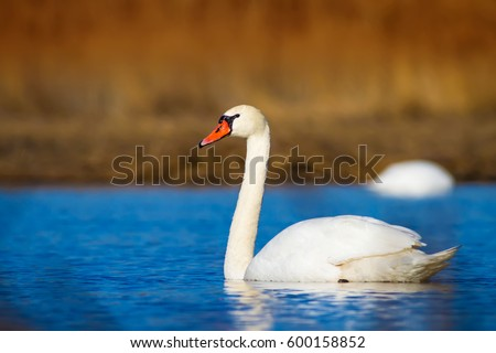Swimming swan. Blue water and yellow grass background. Mute Swan Cygnus olor