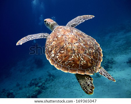 Stock Photo Swimming Turtle with Beautiful Shell