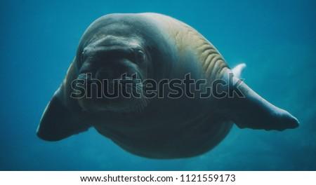 Swimming walrus under water