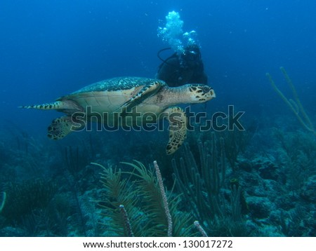 Swimming with Loggerhead Turtle