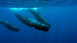 Swimming with Sperm Whales in Dominica, and Island Nation in Caribbean. Sperm Whales are resident in Dominica, allowing limited number of travelers close encounters with them.