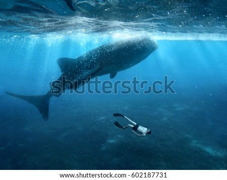 Stock Photo Swimming with whale sharks