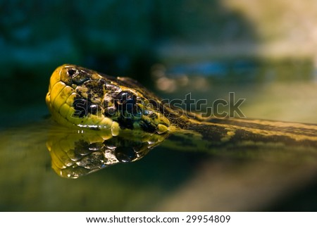 Swimming Yellow anaconda, native to South American swamps and marshes
