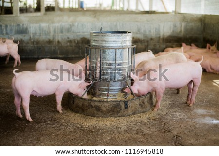 Swine at the farm. Meat industry. Pig farming to meet the growing demand for meat in thailand and international. - Shutterstock ID 1116945818