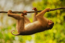 Swinging adventures to the wild and of pig-taile macaque in kinabatangan river.