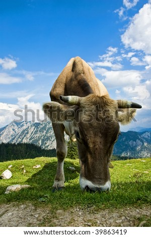 Swiss Cattle in the Alps